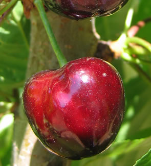 cerisier bigarreau moreau