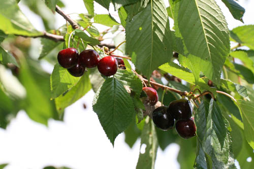 index of arbre fruitier cerisier. Black Bedroom Furniture Sets. Home Design Ideas