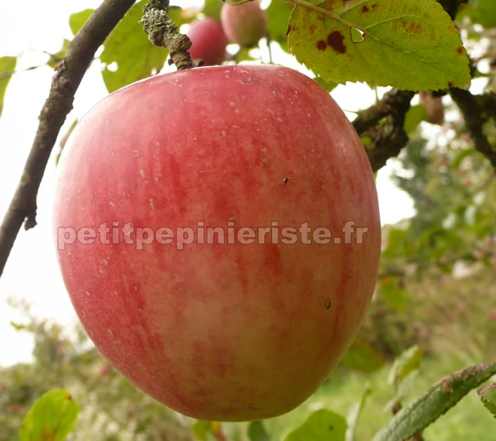 Index of arbre fruitier for Arbre fruitier
