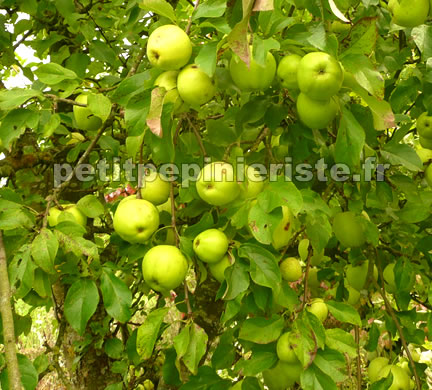 Golden delicious image for Arbre fruitier