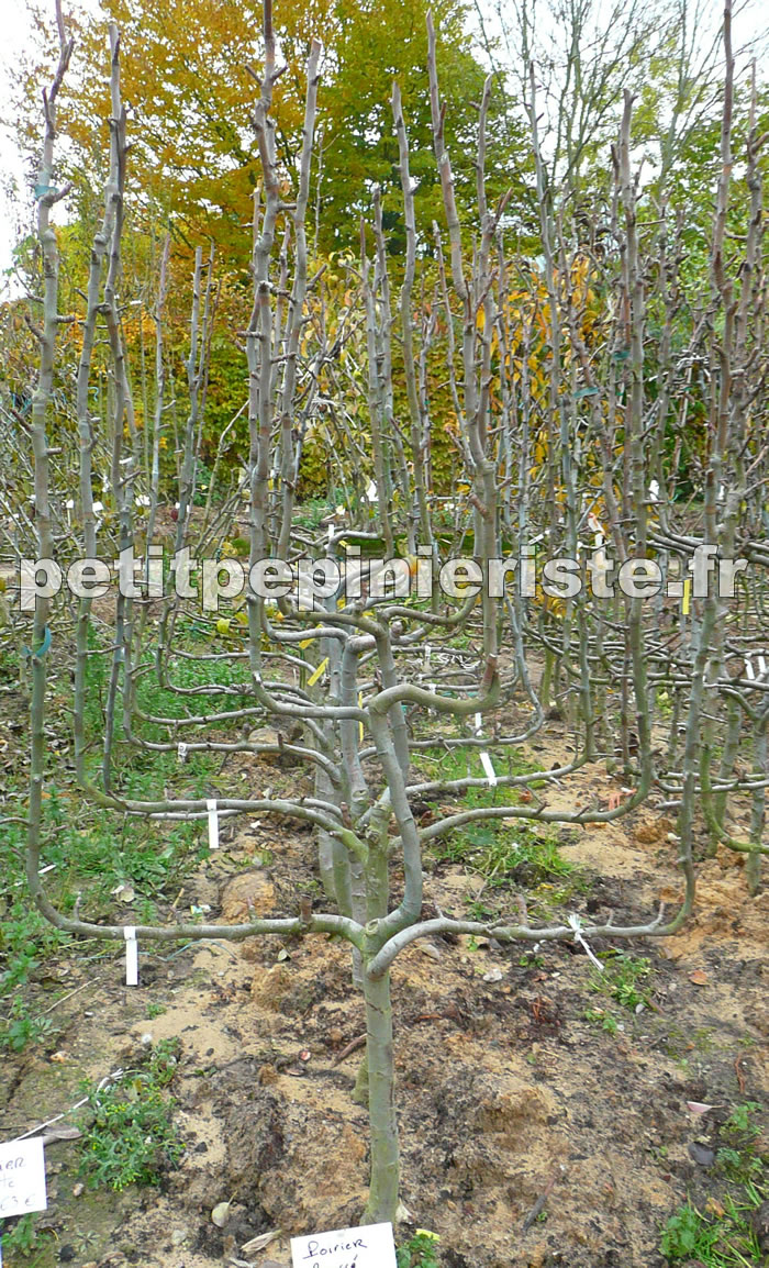 How to espalier pictures for Arbre fruitier