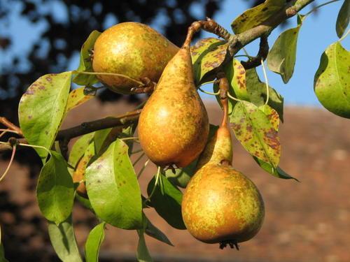 Arbres fruitiers for Arbre fruitier