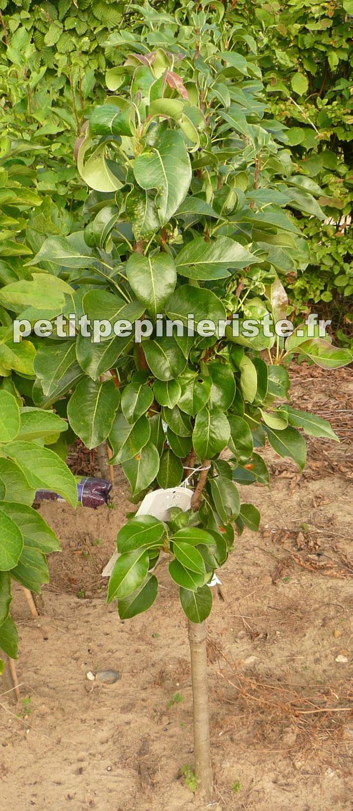 Le poirier pictures for Arbre fruitier