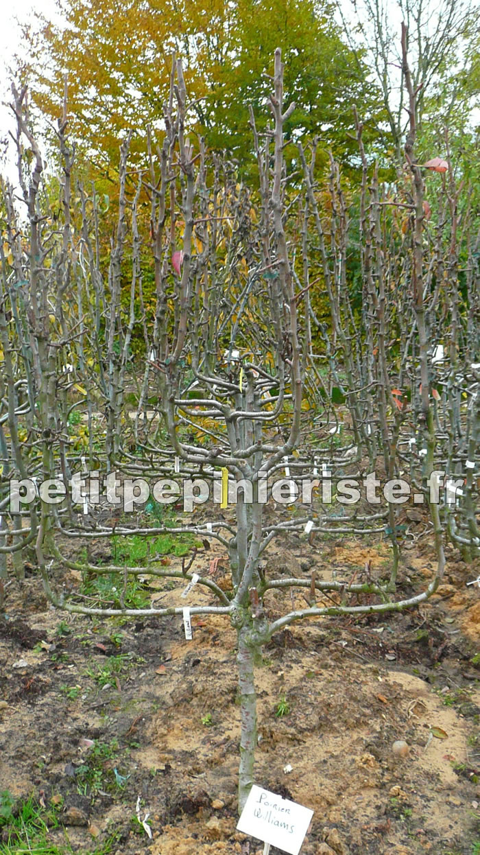 arbre en espalier persistant arbre palisse jardin sur toit dimmeuble arbre palissac across. Black Bedroom Furniture Sets. Home Design Ideas