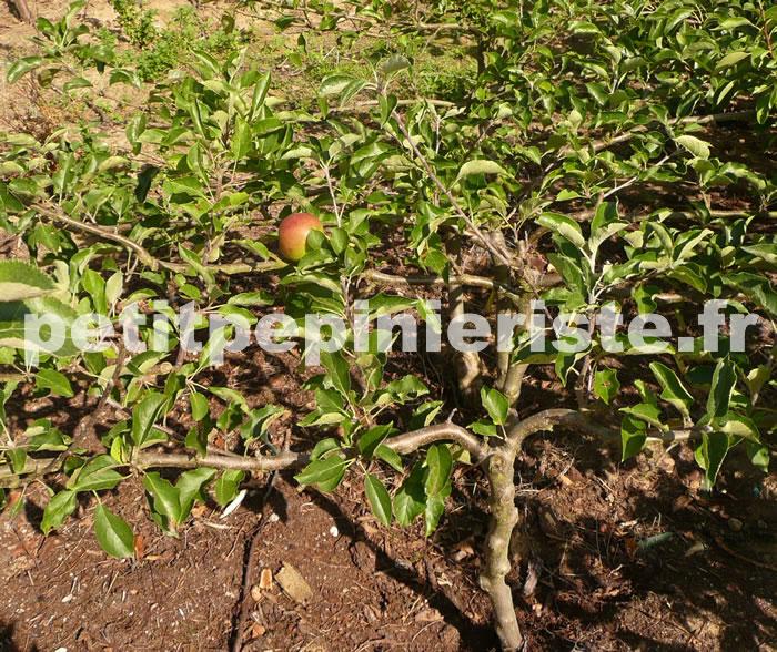 Pommier en cordon double - Arbre fruitier petite taille ...