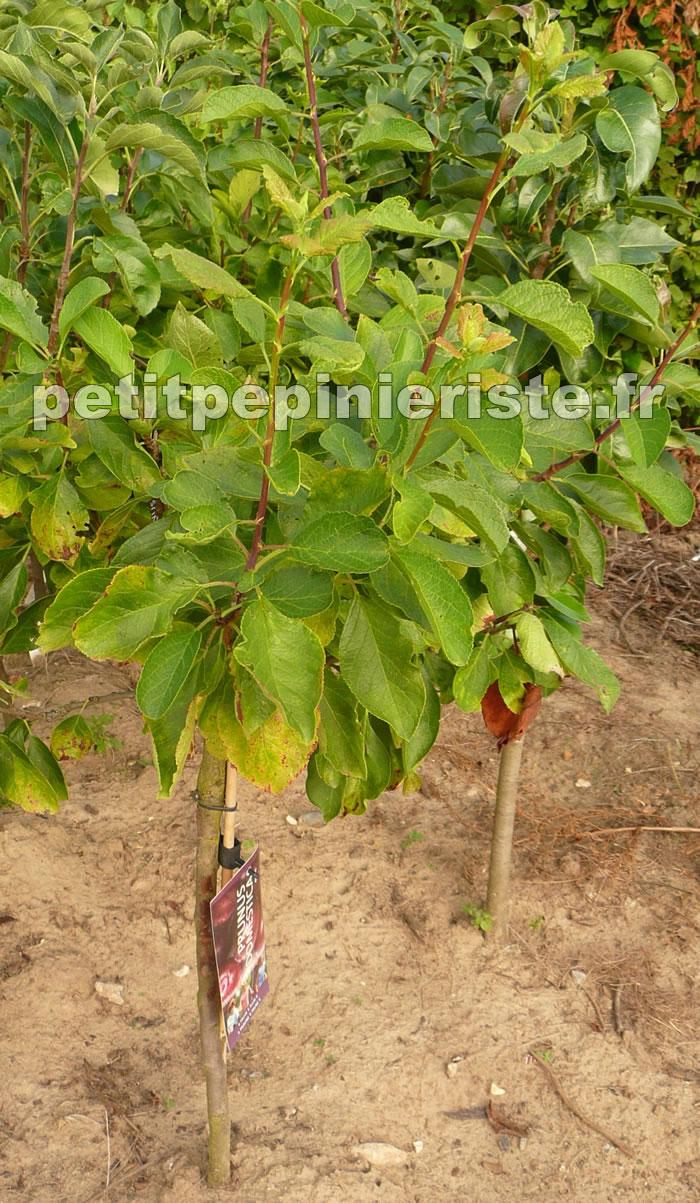 Arbre fruitier nain : crez votre verger de poche - Jardinerie Truffaut