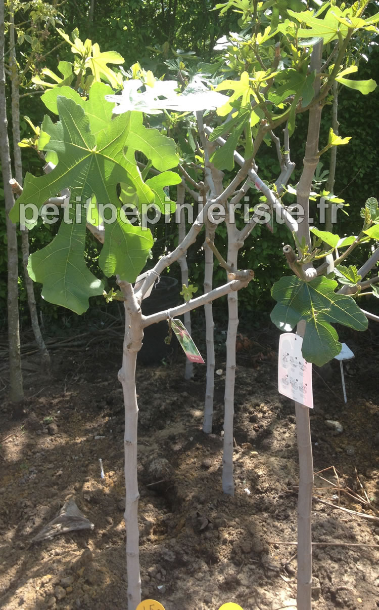 vente d arbre fruitier collection design inspiration pour le jardin et son. Black Bedroom Furniture Sets. Home Design Ideas