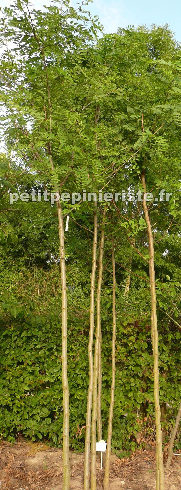 Acacia erioloba pdia