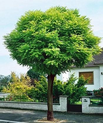 Acacia boule for Arbre persistant pour petit jardin