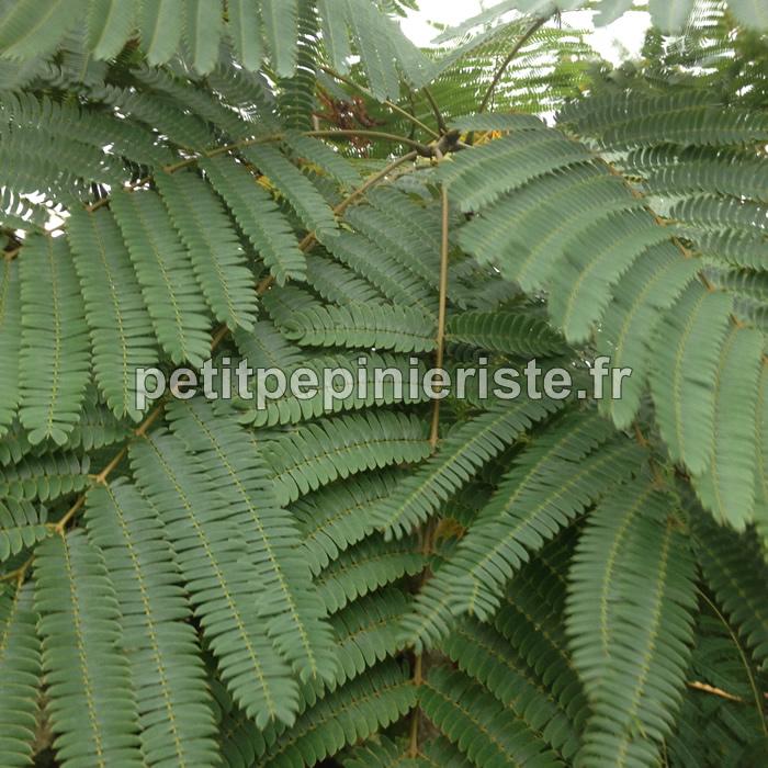 Albizia julibrissin ou arbre soie ou acacia de for Acacia de constantinople prix