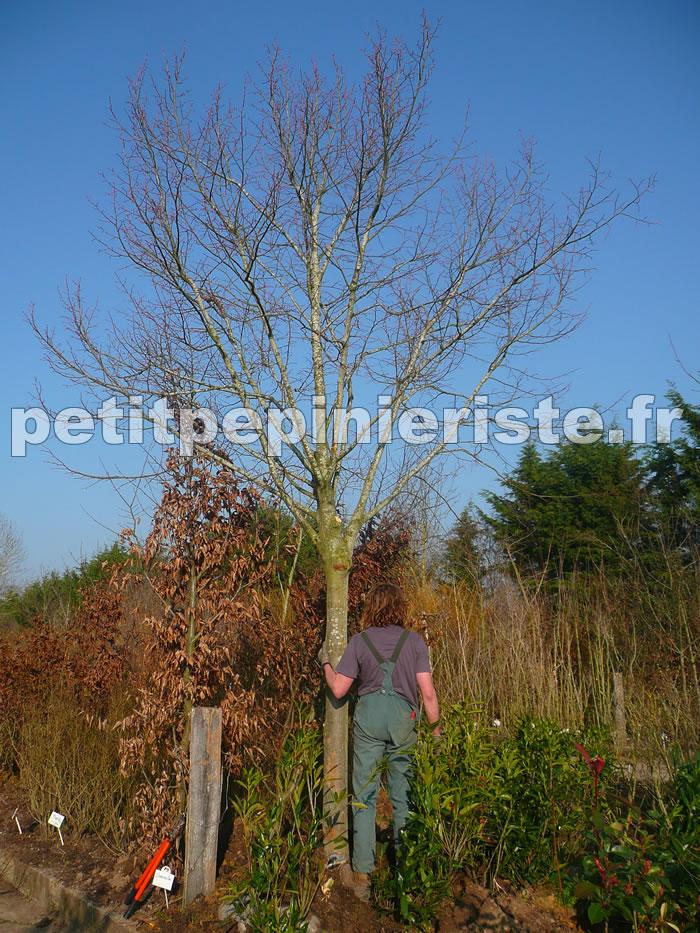 vente de tilleul arbre