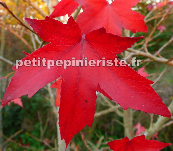 Liquidambar ou copalme prix de vente - Arbre feuille rouge fruit rouge ...