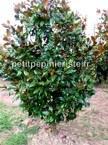 magnolia arbre prix. Black Bedroom Furniture Sets. Home Design Ideas