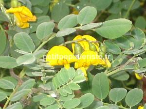 fleur du baguenaudier