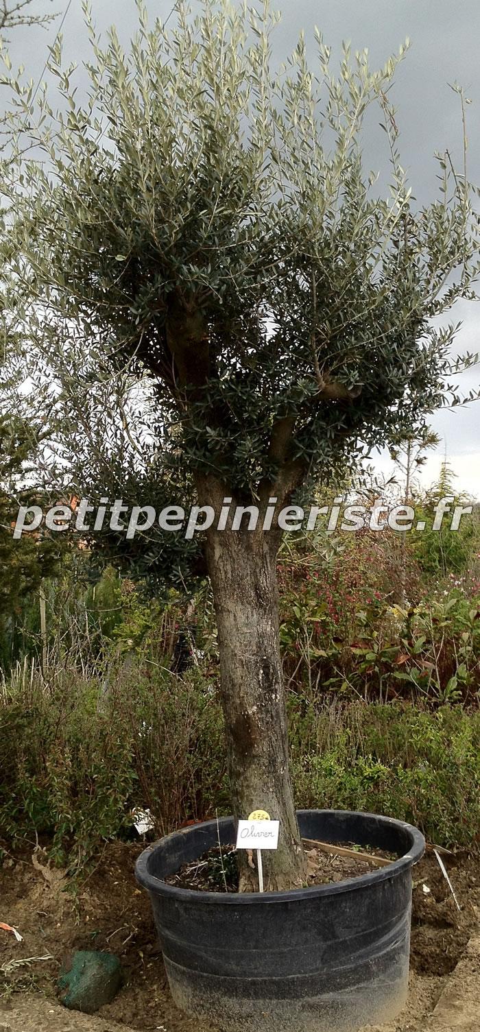 index of arbre olivier. Black Bedroom Furniture Sets. Home Design Ideas