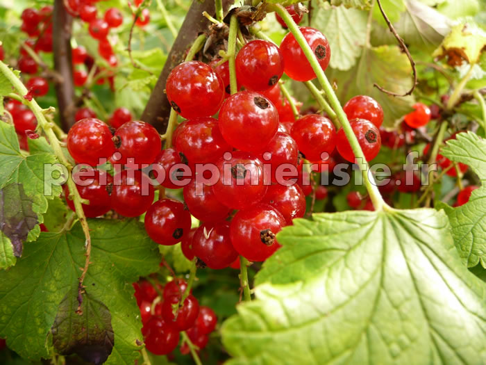 index of arbuste fruitier