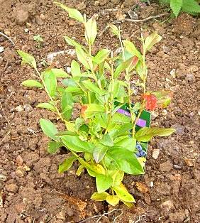 Myrtillier vente et achat for Vente arbuste