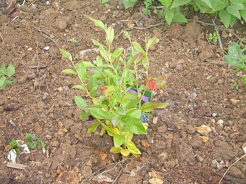 Index of arbuste fruitier for Vente arbuste
