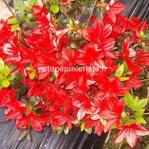Prix de vente ou achat d 39 une azal e japonaise rouge for Plante japonaise