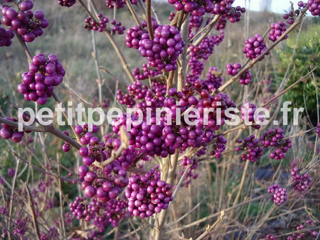 Callicarpa prix de vente ou achat for Vente arbuste