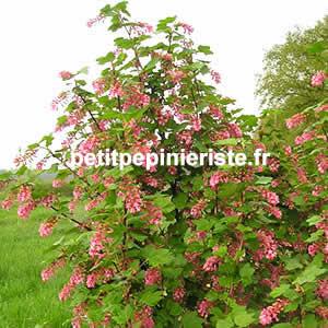 Prix de vente ou achat d 39 un groseillier fleur ou ribes for Achat de fleurs