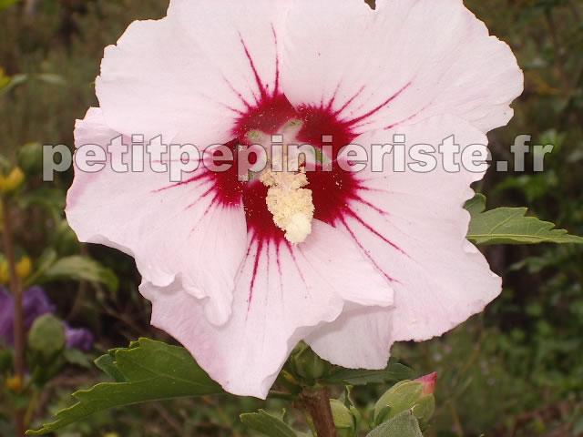 vente hibiscus syriacus