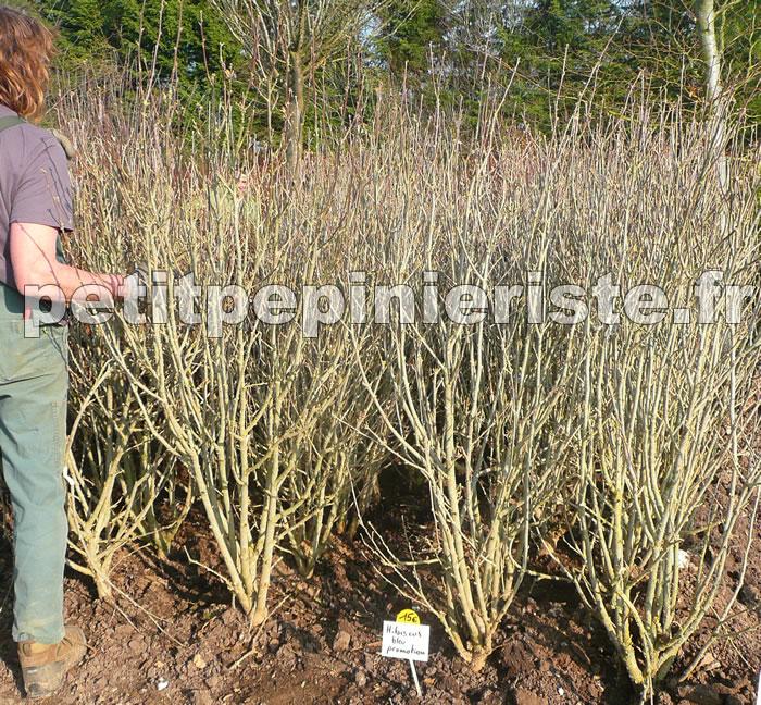 promotion sur l althea hibiscus