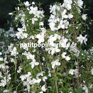 Prix de vente ou achat d 39 un seringat ou phyladelphus for Achat de fleurs