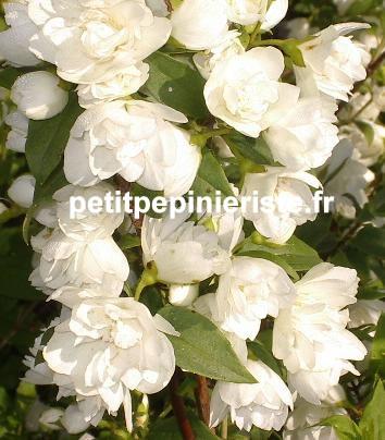 Prix de vente ou achat d 39 un seringat ou phyladelphus for Vente des fleurs en ligne