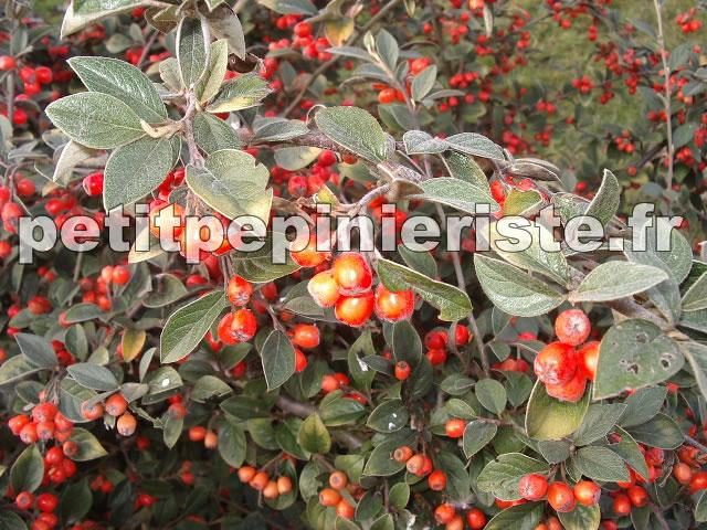 P pini re jardinerie cotoneaster pour les vosges - Arbuste a boule rouge ...