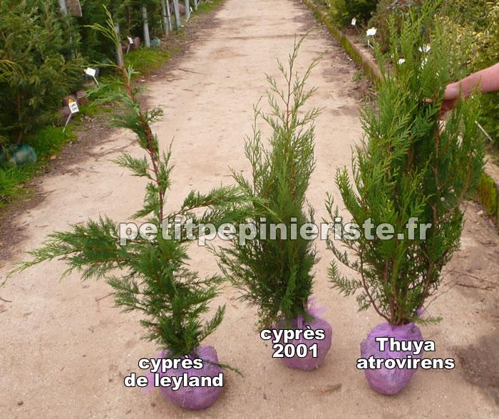 Cypr s 2001 prix vente et achat - Quand tailler les cypres de leyland ...