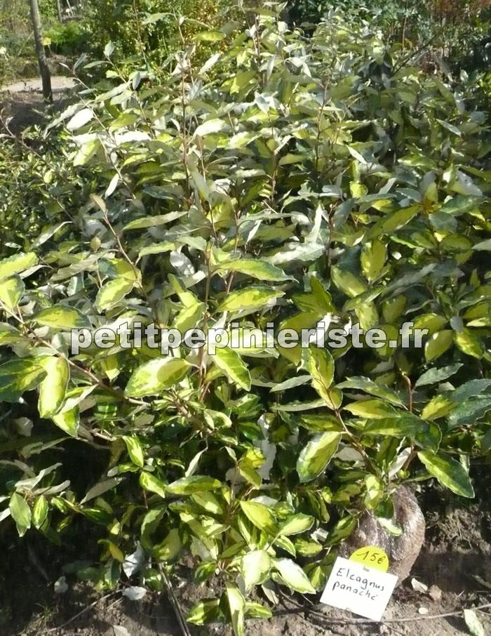 Eleagnus panach vente et achat for Eleagnus maladie feuilles jaunes