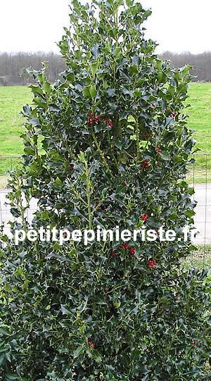 Houx prix vente et achat for Vente arbuste