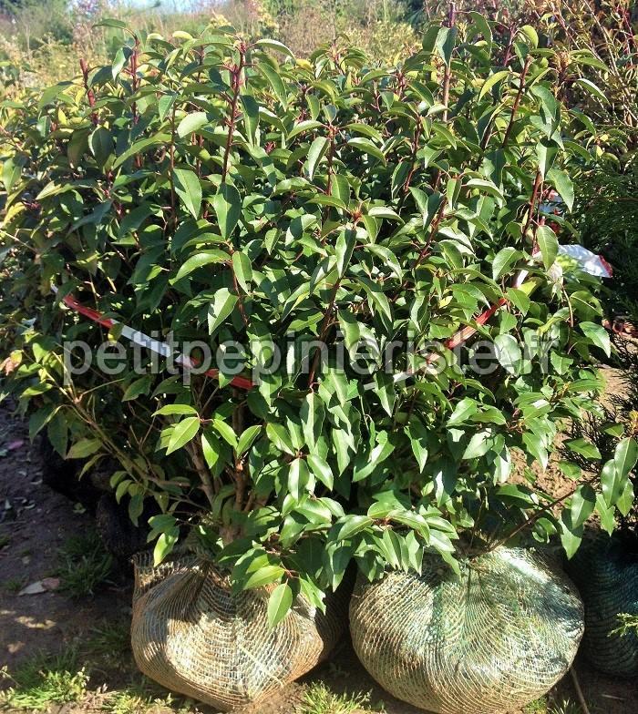 Laurier du portugal pour balcon et terrasse for Arbuste en pot pour terrasse