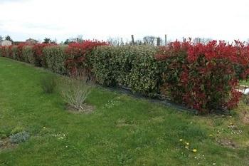 Haie de photinia red robin - Planter une haie de laurier ...