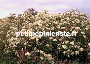 Photinia haie