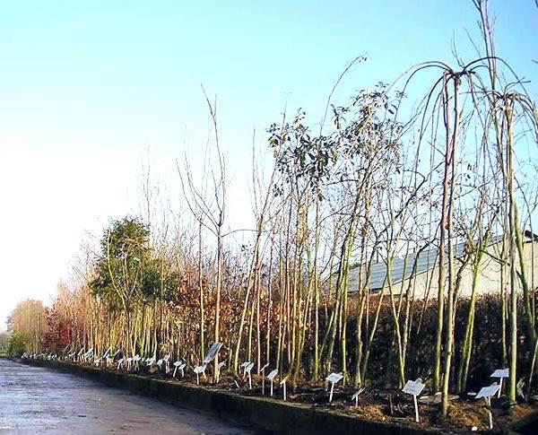 P pini re en arbre d 39 ornement - Arbre d ornement feuillage persistant ...