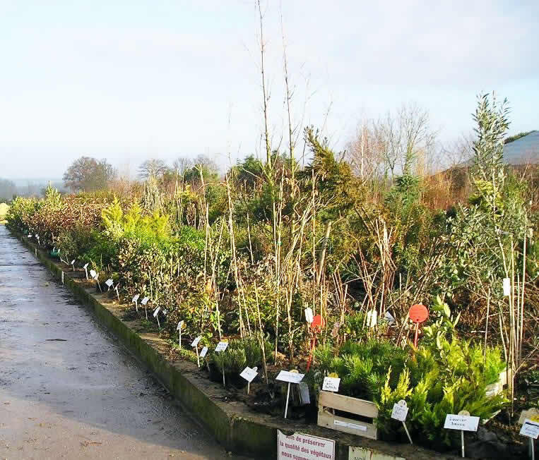 P pini re en arbuste persistant for Arbustes persistants pour haie